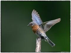 Lady Bluebird landing (RKop) Tags: raphaelkopanphotography nikon 600mmf4evr californiawoodspark ohio cincinnati