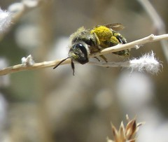 Mining bee female (Bug Eric) Tags: animals wildlife nature outdoors insects bugs bees andrenidae miningbees hymenoptera female coloradosprings colorado pollination pollinators usa andrena northamerica april272019