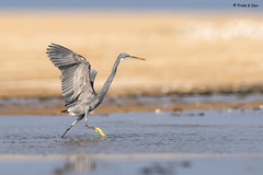 # Western Reef Egret..................... (Dr Prem K Dev) Tags: western reef egret elegant hunting grey gorgeous nature chennai composition pulicat pose wings feathers yellow blue bird bokeh bg avian action attractive india