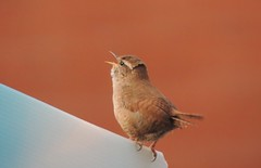 I like to Sing (Kevin Pendragon) Tags: wren bird small voice nature naturephotography light sky blue clouds bristol home view outdoors outside feathers fence happy life