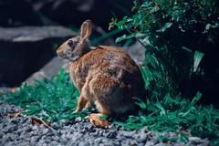 2019-05-11 12.12.27 3 (jleybro) Tags: vintagelens bunny rabbit animal wildlife lightroom fujifilm fuji xt1 fujifilmxt1 fujixt1 minolta minolta45mmf2 rokkor