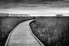 Solitary Wanderer (Neil Cornwall) Tags: 2019 april canada ontario pointpelee boardwalk marsh spring water absoluteblackandwhite