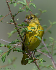 Female Southern Masked-Weaver (leendert3) Tags: leonmolenaar southafrica krugernationalpark wildlife birds southernmaskedweaver naturethroughthelens