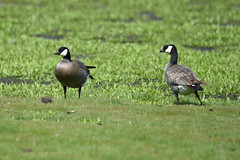 Cackling goose - Saanich, BC (elTwister) Tags: cackling goose branta hutchinsii