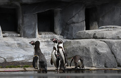 Manchot de Humboldt _ Spheniscus humboldti (Annelise LE BIAN) Tags: animaux pzp zoo coth manchotdehumboldt coth5 alittlebeuty sunshine damn