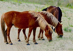 Wild Corolla Horses (tvdflickr) Tags: tvdimages photobytomdriggers thomasdriggersphotography nikon df nikondf corollaherd corollahorses wildhorses outerbanks northcarolina endangered