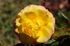 Maig_0361 (Joanbrebo) Tags: park parque parc parccervantes barcelona garden jardín jardí flors flores flowers fiori fleur blumen blossom rose rosa canoneos80d eosd efs18135mmf3556is autofocus