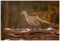 Woodland Delights - Female Pheasant (Brian P Slade Photography) Tags: birds birdwatching bird ukbirds pheasant female feathers patterns textures snow log bark winter ukwildlife uk wildlifephotography wildlife naturephotography nature animals mammals woodland woods brianpslade brianpsladephotography canonphotography canon sigmasports sigma