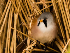 Bearded Tit (selvagedavid38) Tags: bird wildlife beardedtit reeds roost perch feathers