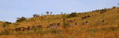 On the move (ralf galloway) Tags: safari tanzania 2018 zebras wildebeest