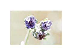 Lengua de perro, (Cynoglossum creticum). (EFD-fotolab) Tags: lila efdfotolab pétalos naturaleza nature lenguadeperro cynoglossumcreticum nikkor105mm nikond610 nikon macro macrofotografia españa primavera2019 flores floressilvestres