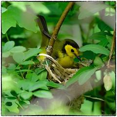 Hooded Warbler (female) (RKop) Tags: warbler warblers raphaelkopanphotography shawneestatepark d500 ohio 600mmf4evr 14xtciii nikon