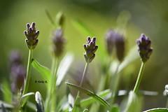 Focus means saying no to thousands of good ideas. (heikecita) Tags: makro macro lavender lavendel nature natur plant flower spring frühling