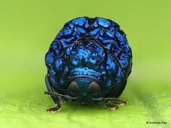 Pretty Beetle, Chlamisus or Fulcidax sp.? Cryptocephalinae (Ecuador Megadiverso) Tags: 5mm andreaskay beetle chlamisini chlamisussp chrysomelidae coleoptera cryptocephalinae ecuador focusstack fulcidaxsp