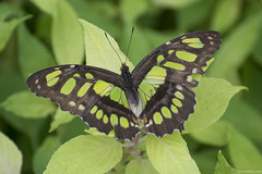 Butterfly 2019-19 (michaelramsdell1967) Tags: butterfly butterflies macro nature animal animals insect insects green black beauty beautiful pretty detail delicate vivid vibrant leaves garden spring upclose closeup malachite bug bugs lovely camouflage colorful wings zen