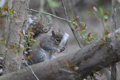 Eastern Gray Squirrel - Sciurus carolinensis - Wayne County, Michigan, USA - April 30, 2019 (mango verde) Tags: easterngraysquirrel sciuruscarolinensis sciuridae sciurus carolinensis squirrel treesquirrels waynecounty michigan usa mangoverde
