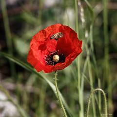 J'arrive !!! (gerardcarron) Tags: animaux canon80d challesleseaux fleurs flowers flore savoie