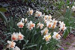 Frühling (Foto Hardy) Tags: flower flora blumen blüten natur frühling nature narzissen