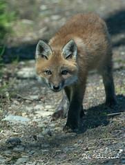Fox Kits - Grimes Hill Road Sabinsville PA (dfbphotos) Tags: 2019 may spring tioga sabinsville tiogacounty places grimeshill wildlife foxkit fox pa usa