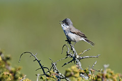 Lessser Whitethroat 2019-05-11_01 (Eva Landgren) Tags: bird birds fåglar fågel fauna djur aves animal animals avifauna wildlife wetland wetlands natur nature nikond500 nikon tamron tamron150600mm outdoor outdoors sweden sverige halland näsbokrok trönningeängar ärtsångare sångare sylvia lesserwhitethroat sylviacurruca warbler warblers