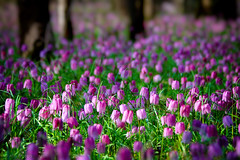 (Alin_B.) Tags: alinbrotea nature spring april may flower tulip laleauapestrita fritillariameleagris woods forest