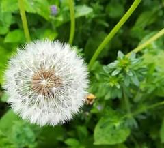 FLOWER...??? (daveandlyn1) Tags: flower dandelionclock patterns sodelicate 1oclock2oclock ouegarden smartphone psdigitalcamera cameraphone pralx1 p8lite2017 huaweip8 huawei