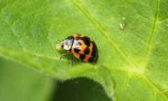 9548 Harmonia axyridis (jon. moore) Tags: prioryfields warwickshire coleoptera harmoniaaxyridis harlequinladybird coccinellidae