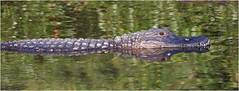 American alligator (A. mississippiensis) (docsunny) Tags: american alligator a mississippiensis
