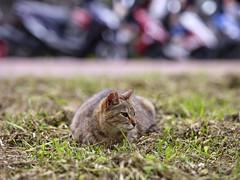 GFX50S__DSF4150_C1 (Bazoka+Cynthia) Tags: cat lori 小婆 新北市 猴硐 瑞芳區 貓 阿偉