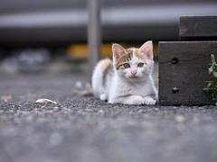 GFX50S__DSF4161_C1 (Bazoka+Cynthia) Tags: cat lori 小婆 新北市 猴硐 瑞芳區 貓 阿偉