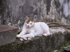 GFX50S__DSF4158_C1 (Bazoka+Cynthia) Tags: cat lori 小婆 新北市 猴硐 瑞芳區 貓 阿偉