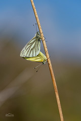 Mating Pair of Green-Veined Whites | Pieris napi (http://www.richardfoxphotography.com) Tags: greenveinedwhite pierisnapi butterfly butterflies insects insect lepidoptera macro macrophotography