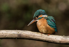 Kingfisher (Foxley65) Tags: kingfisher female northnorfolk blue alcedoatthis