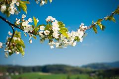 Black Forest Spring (Günter Glasauer) Tags: deutschland freiamt germany badenwürttemberg schwarzwald blossom blüten spring frühling
