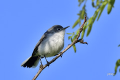 Blue-gray Gnatcatcher (jt893x) Tags: 150600mm bird bluegraygnatcatcher d500 gnatcatcher jt893x nikon nikond500 polioptilacaerulea sigma sigma150600mmf563dgoshsms songbird thesunshinegroup alittlebeauty coth coth5 sunrays5 ngc