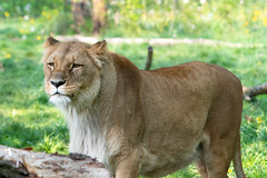 A beautiful lioness (seenms1) Tags: lioness lion nature cat animal beautiful wild predatory dignified africa wildnature wildcat tanzania kenya