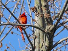 Northern Cardinal (LouisvilleCardinal) Tags: mlwright northerncardinal
