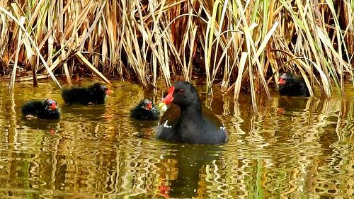 AP0402.DSCN0311.08 oiseau aquatique 24 (poule d'eau poussin lac nourrit) Pref