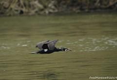 Cormoran (Fred Moresve) Tags: nikond70s sigma150600c cormoran oiseau lacdemaine angers
