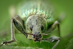 Nahaufnahme - Rüsselkäfer - Grünrüssler (Phyllobius sp.) Wildlife (AchimOWL) Tags: käfer insekt insect tier tiere animal makro macro gh5 schärfentiefe outdoor wildlife lumix panasonic stack ngc raynox fauna beetle rüsselkäfer brennessel curculionidae owl deutschland olympus raynoxmsn202 macrodreams grünrüssler weevil greenweevil