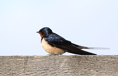 Barn Swallow / boerenzwaluw (douwesvincent) Tags: breeding wings bird birding lauwersmeer water outdoor nature colour photo canon enjoy close natural