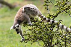 The katta lemur eats leaves from the tree