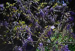 Happy Mother's Day (Karen McQuilkin) Tags: maya angelou happymothersday mysonsaremyheart wisteria garden