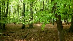 New Forest NP, Hampshire, UK (east med wanderer) Tags: england uk hampshire newforestnationalpark nationalpark beech oak spring