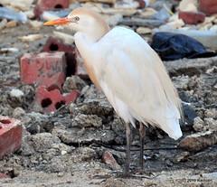 DSC_0963 (RachidH) Tags: birds oiseaux egrets heron ibis cattleegret bubulcusibis hérongardeboeufs fayoum egypt rachidh nature