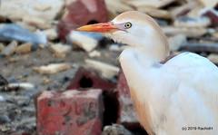 DSC_0964 (RachidH) Tags: birds oiseaux egrets heron ibis cattleegret bubulcusibis hérongardeboeufs fayoum egypt rachidh nature