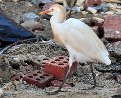 DSC_0966 (RachidH) Tags: birds oiseaux egrets heron ibis cattleegret bubulcusibis hérongardeboeufs fayoum egypt rachidh nature