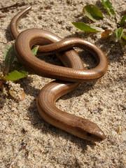 Anguis fragilis. Neidar Ddefaid. Slow Worm (Gwylan) Tags: anguisfragilis slowworm neidarddefaid reptile wales cymru lizard madfall neidar ymlusgiad ymlusgiaid