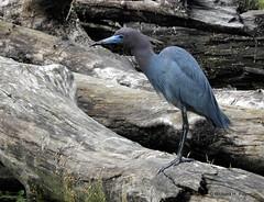 Little Blue Heron_N9636 (Henryr10) Tags: ellislake ellislakewetlands westchesteroh ohio usa littleblueheron heron egrettacaerulea egretta avian bird vogel ibon oiseau pasare fågel uccello tékklistar lbhe