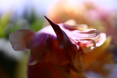 phoenix (°andre²a°) Tags: canon canoneosr macro tulip flower flowers spring abstract pink yellow nature colorful bird bokeh